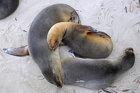 Galápagos sea lions (Zalophus wollebaeki), Puerto Villamil, Isabela Island, Galapagos Islands, UNESCO World Heritage Site, Ecuador, South America