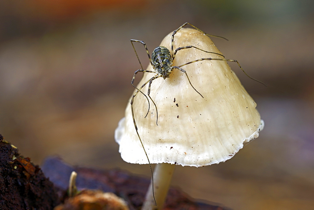 Harvestman (Opiliones spec.) perched on a mushroom, mycenoid mushroom (Mycena sp.), Brandenburg, Germany, Europe