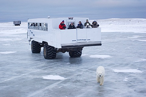 Tundra Buggy with polar bear (Ursus maritimus), Churchill, Manitoba, Canada