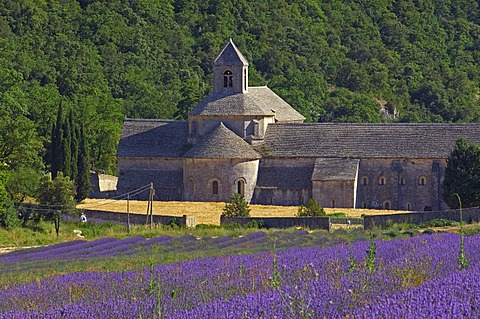 Lavender fields at Abbaye Notre-dame de Senanque, Senanque Abbey, Gordes, Provence, France, Europe