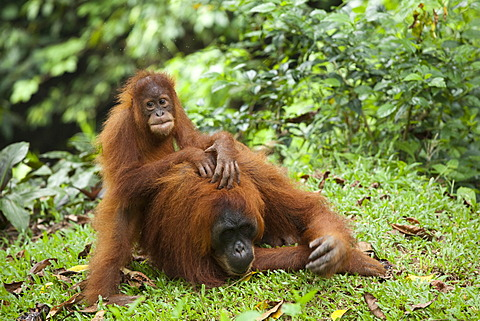 Sumatran orangutan (Pongo abelii) with young, in the rain forests of Sumatra, Indonesia, Asia