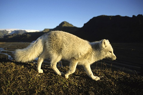 Arctic fox (Alopex lagopus) in the Þorsmoerk, Thorsmoerk mountain ridge, southern Iceland, Europe