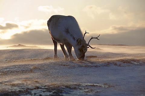 Svalbard Reindeer (Rangifer tarandus platyrhynchus), young male foraging for food on a windblown, icy slope, Adventdalen, Spitsbergen, Svalbard, Norway, Europe