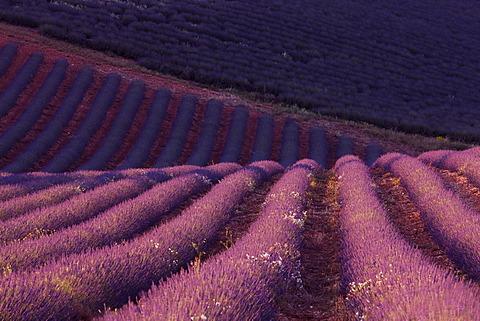 Lavender field (Lavandula angustifolia), Plateau de Valensole, Département Alpes-de-Haute-Provence, France, Europe