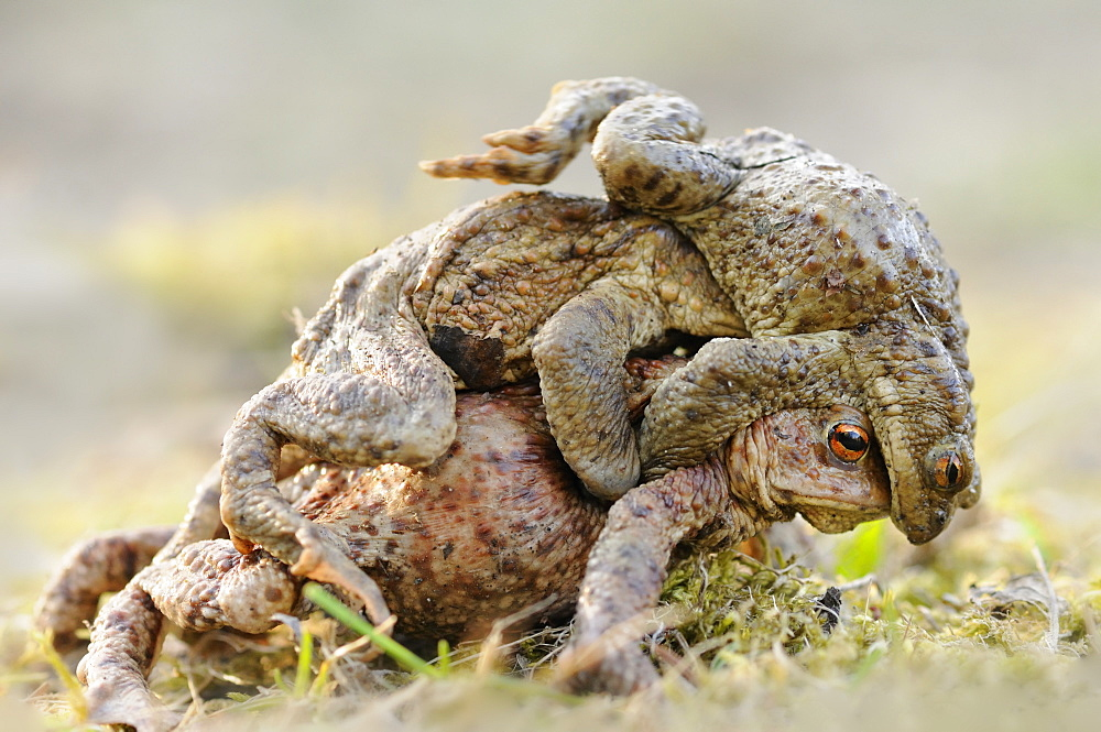 Toads (Bufo bufo), males competing for a female