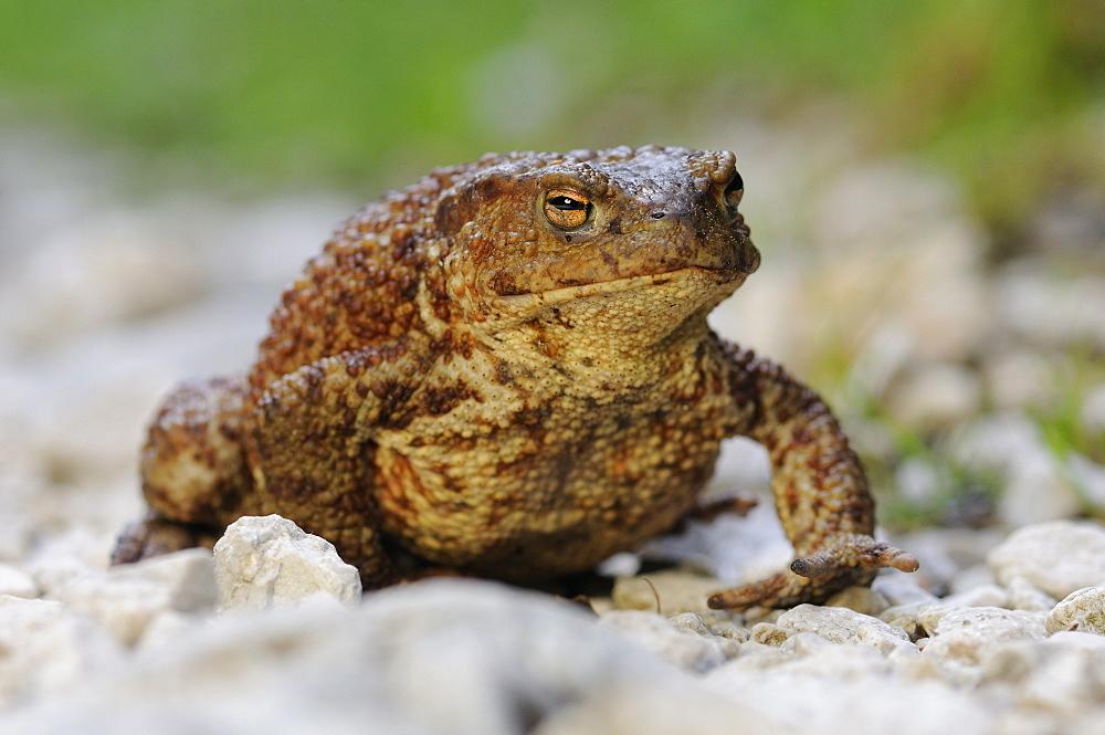 Toad (Bufo bufo complex), Triglav National Park, Slovenia, Europe