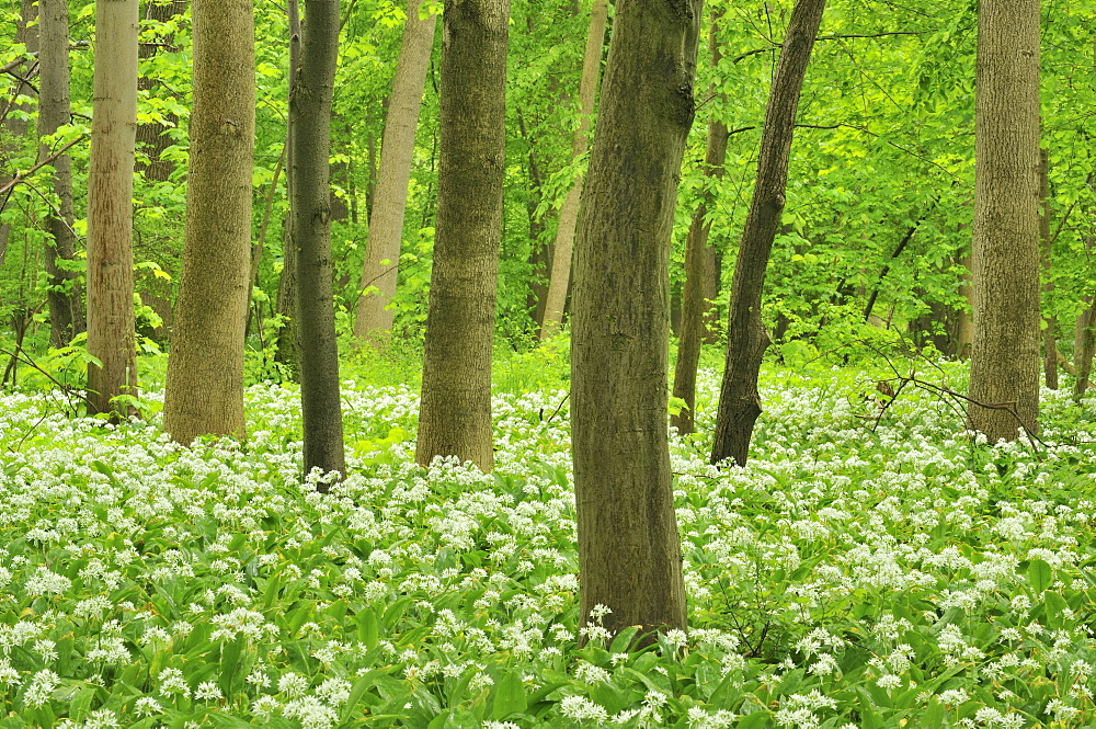 Forest floor covered with Ramsons or Wild Garlic (Allium ursinum), Leipzig floodplain forest, Saxony, Germany, Europe