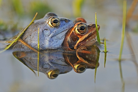 Moor Frogs (Rana arvalis) during mating, Middle Elbe Biosphere Reserve near Dessau, Saxony-Anhalt, Germany, Europe