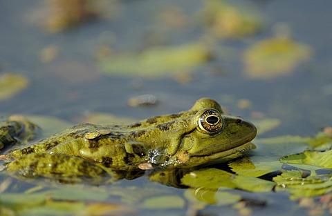 Edible frog (Pelophylax esculentus, Rana esculenta), Danube Delta, Romania, Europe