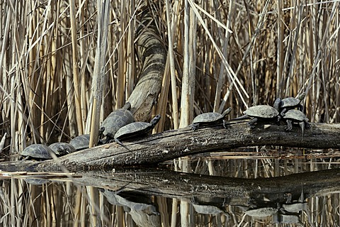 European Pond Turtle (Emys orbicularis), Danube wetlands, Donau Auen National Park, Lower Austria, Austria, Europe