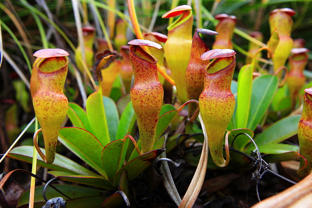 Carnivorous, endemic Pitcher Plant (Nepenthes pervillei), Mount Copolia in the Morne Seychellois National Park, Mahe island, Seychelles, Africa, Indian Ocean