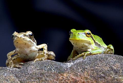 Agile Frog (Rana dalmatina) and European Green Treefrog (Hyla arborea), Marchfeld, Lower Austria, Austria, Europe