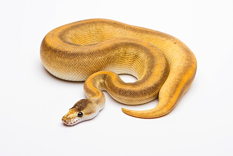 Royal python (Python regius), Champagne Cinnamon, female, reptile breeder Willi Obermayer, Austria