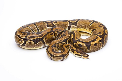 Royal python (Python regius), Matanic, female, reptile breeder Willi Obermayer, Austria