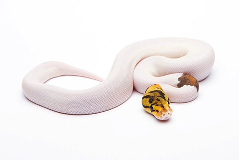 Royal python (Python regius), Bumble Bee Piebald, male, reptile breeder Willi Obermayer, Austria