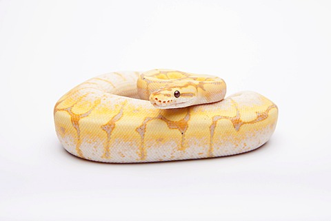 Royal python (Python regius), Spider CG, male, reptile breeder Willi Obermayer, Austria