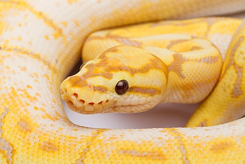 Royal Python (Python regius), Spider CG, male, Willi Obermayer reptile breeding, Austria