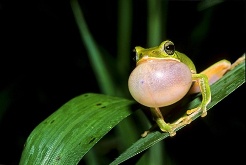 Farmland Green Tree Frog (Rhacophorus arvalis), inflated vocal sac, courtship display, species endemic to Taiwan, Asia