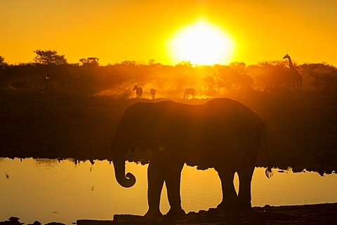 Wild animals at sunset, African elephant (Loxodonta africana), Plains Zebras (Equus quagga) and a Giraffe (Giraffa camelopardalis), Etosha National Park, Namibia, Africa