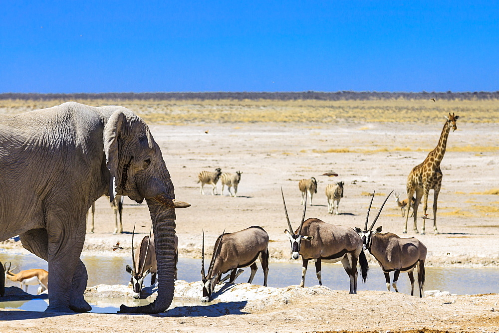 African elephant (Loxodonta africana), gemsboks or gemsbucks (Oryx gazella), giraffe (Giraffa camelopardalis) and springboks (Antidorcas marsupialis) at a waterhole, Etosha National Park, Namibia, Africa