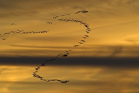 Eurasian cranes (Grus grus) in flight, flock flying in a formation in the evening light, lake Guenzer See, Altenpleen, Western Pomerania Lagoon Area National Park, Mecklenburg-Western Pomerania, Germany, Europe