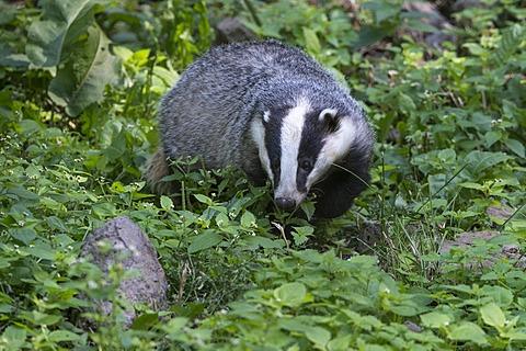 European badger (Meles meles), Knuell wildlife park, Homberg, North Hesse, Hesse, Germany, Europe