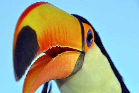 Toco Toucan (Ramphastos toco), Foz de Iguazu, Puerto Iguazu, Argentina - Brazil border, South America