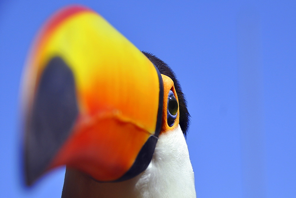 Toco toucan (Ramphastos toco), Foz de Iguazu, Puerto Iguazu, border of Argentina and Brazil, South America