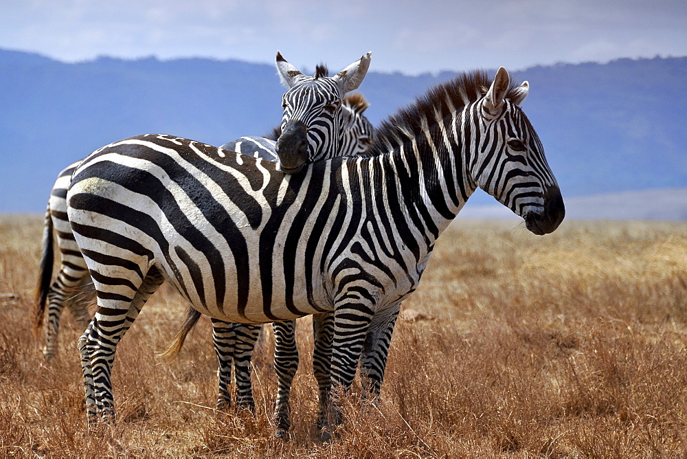 Zebra (Equus quagga) putting head on another one's back, Serengeti, Tanzania, Africa
