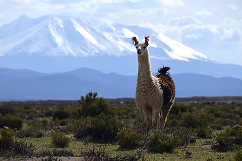 Llama or Lama (Lama glama) standing in front the snow-capped peaks of the high Andes, near Uyuni, Bolivian Altiplano, border triangle of Bolivia, Chile and Argentina, South America - 832-371145