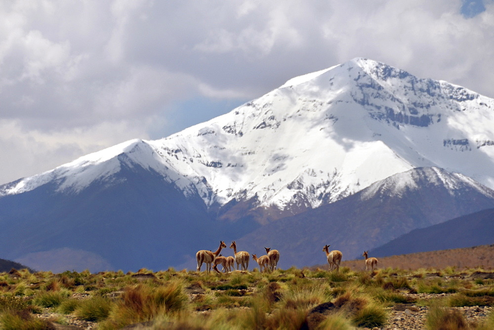 Wild vicunas (Vicugna vicugna), standing in front of the snow-covered peaks of the Andes, Altiplano, area between Bolivia, Argentina and Chile, South America