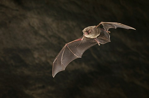Common Bent-wing Bat or Schreiber's Long-Fingered Bat (Miniopterus schreibersii)