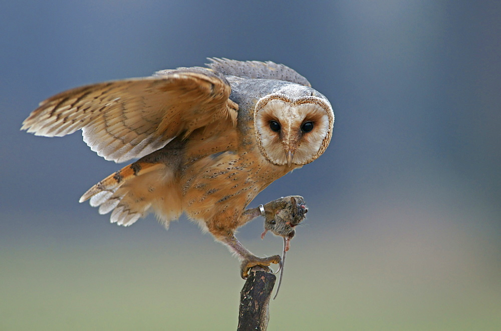 Barn Owl (Tyto alba), with captured mouse, in captivity, Czech Republic, Europe