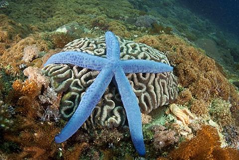 Blue Star (Linckia laevigata), Philippines, Southeast Asia