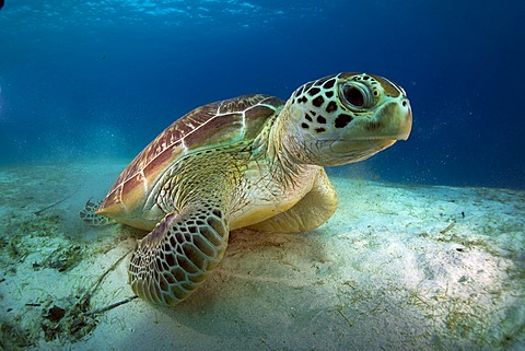Green Sea Turtle (Chelonia mydas), Balnek, Busuanga, Philippines, Asia