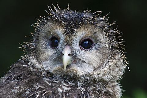 Ural Owl (Strix uralensis), juvenile, portrait