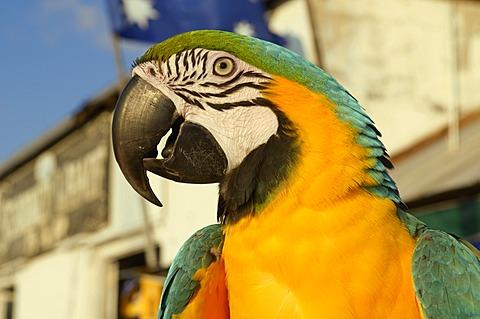 Blue-and-yellow Macaw (Ara ararauna), Key West, Florida, USA
