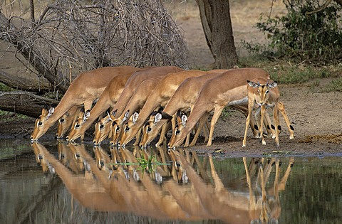 Impalas (Aepyceros melampus), in a row, drinking, Kruger National Park, South Africa