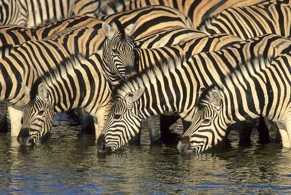 Burchell's Zebra (Equus burchelli), herd drinking at waterhole, Etosha National Park, South Africa - 832-372124