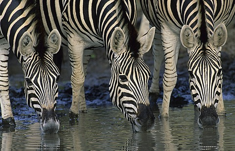 Plains zebra or Burchell's Zebra (Equus quagga), drinking, Kruger National Park, South Africa, Africa