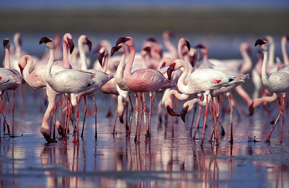 Lesser Flamingo (Phoenicopterus minor), feeding, Barberspan Bird Sanctuary, South Africa, Africa