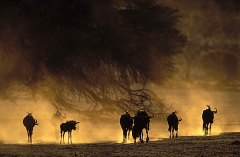 Blue wildebeest (Connochaetes taurinus), in dry riverbed, Kgalagadi Transfrontier Park, Kalahari, South Africa, Africa