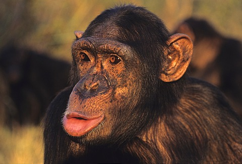 Chimpanzee (Pan troglodytes), hooting, Chimfunshi Wildlife Orphanage, Zambia, Africa