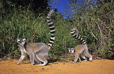 Ringtailed Lemur (Lemur catta), Berenty, Madagascar, Africa