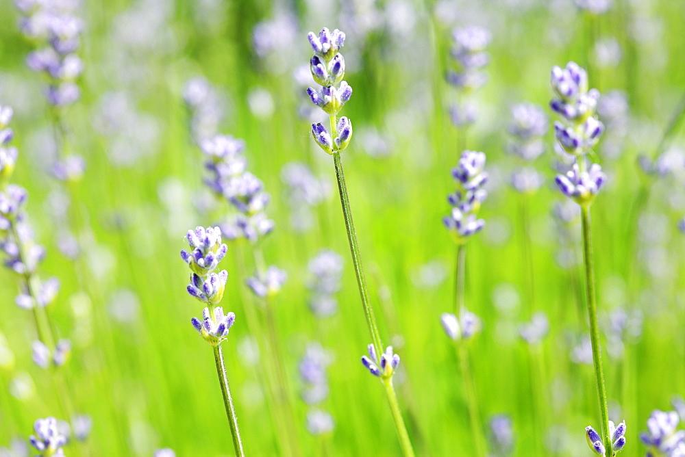 English Lavender 'Dwarf Blue' (Lavandula angustifolia)