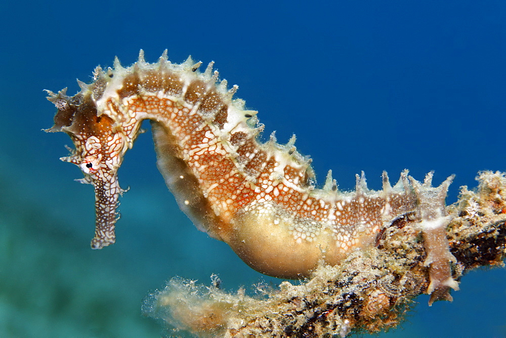 Thorny Seahorse (Hippocampus histrix) clinging to small anchor, Makadi Bay, Hurghada, Egypt, Red Sea, Africa
