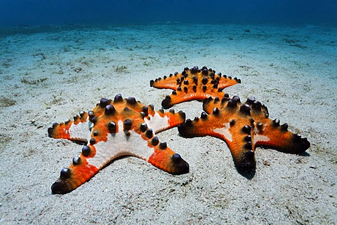Chocolate Chip Starfish (Protoreaster nodosus) gathered on a sandy ground, Sabang Beach, Puerto Galera, Mindoro, Philippines, South China Sea