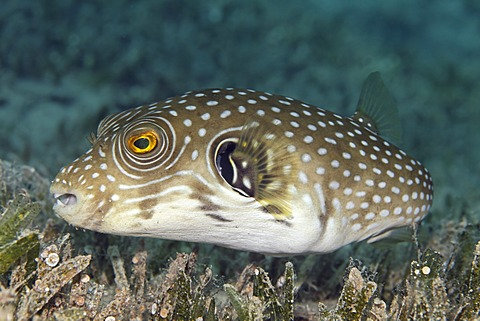 White-spotted Puffer (Arothron hispidus) swimming above sea grass, Great Barrier Reef, UNESCO World Heritage Site, Queensland, Cairns, Australia, Pacific Ocean