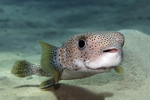 Spot-Fin Porcupine Fish (Diodon hystrix) swimming above the sandy bottom, Great Barrier Reef, UNESCO World Heritage Site, Queensland, Cairns, Australia, Pacific Ocean