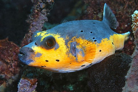 Blackspotted Puffer (Arothron nigropunctatus, Arothron citrinellus), yellow variety, swimming in coral reef, Great Barrier Reef, UNESCO World Heritage Site, Cairns, Queensland, Australia, Pacific